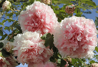 Photo de pivoines Arbustives