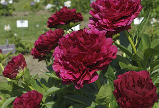 Photo de pivoines Herbacées