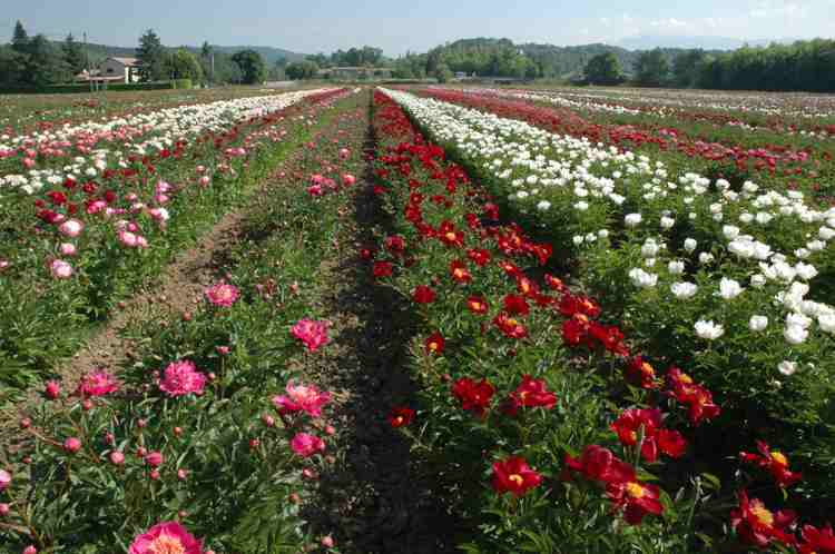 Partial view of our herbaceous peony culture