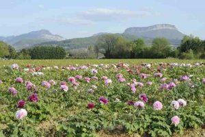 Vue partielle de nos cultures de pivoines arbustives