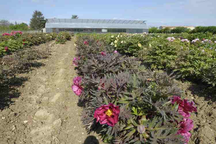 Mother plants of tree peonies and grafting greenhouse