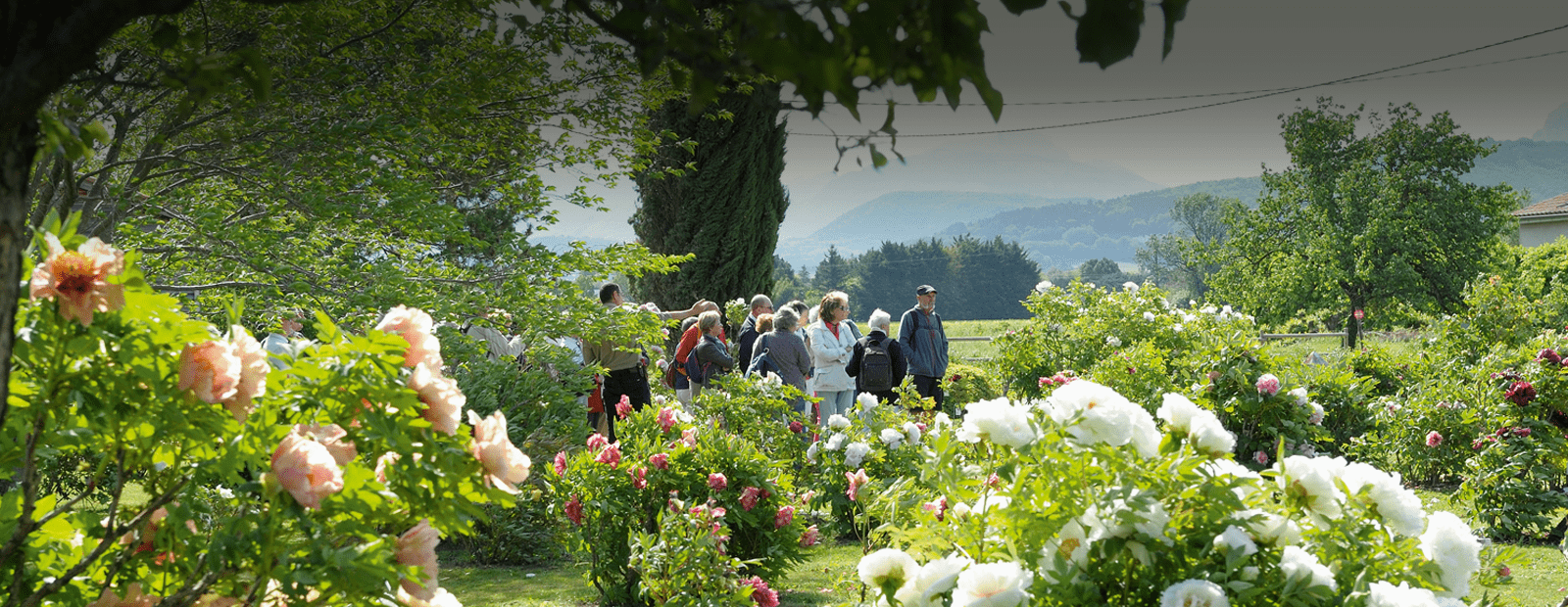 producteur pivoines à crest dans la Drôme