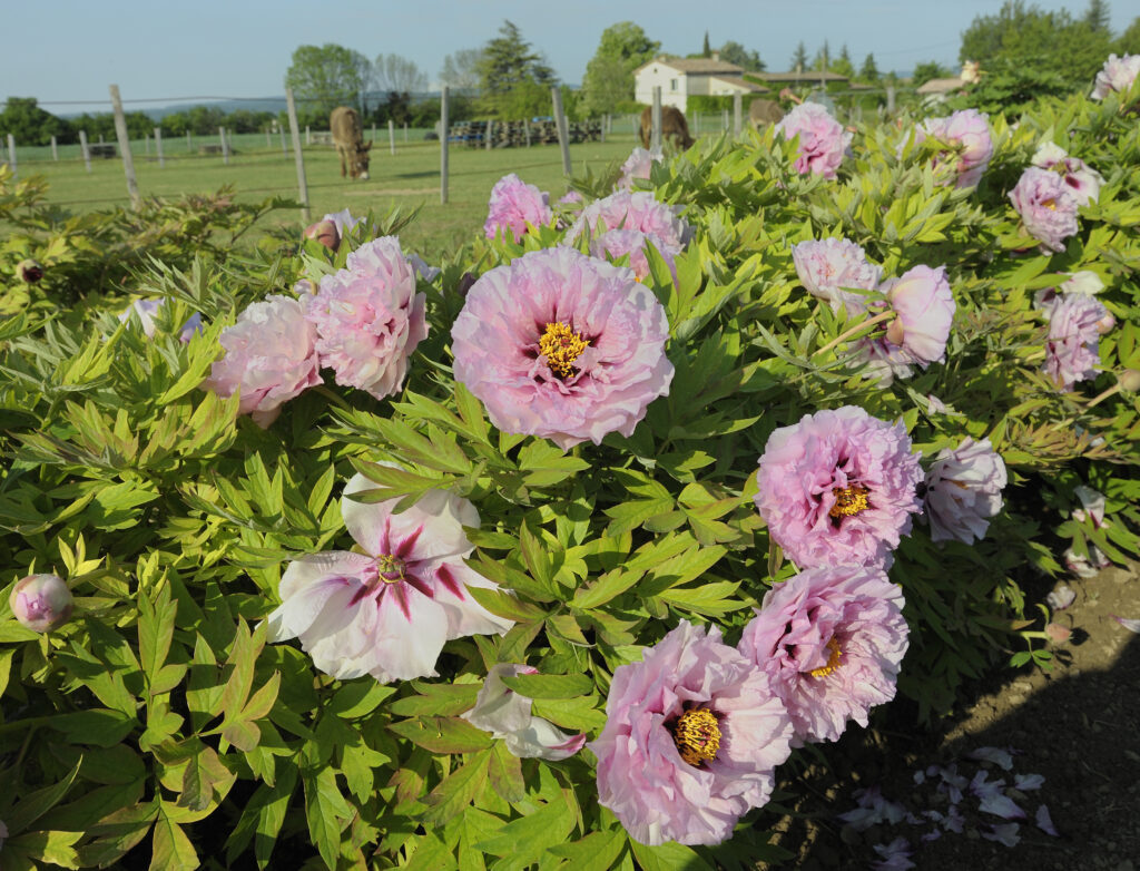 Comment planter vos pivoines 1