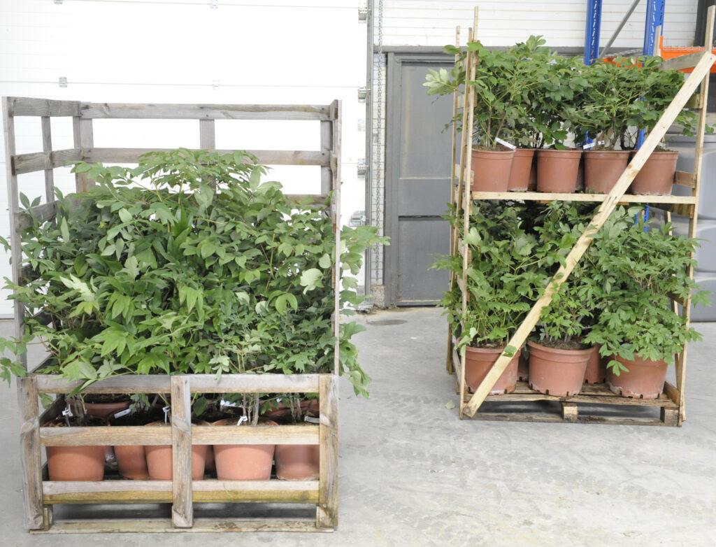 Nos grands sujets de pivoines arbustives 2
